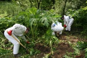 Giant Hogweed eradication in the upper Sure region (Heracleum mantegazzianum)