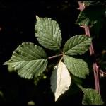 Rubus arduennensis_LF