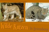 Wilde Katzen_crop