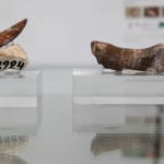 Dino fossils MnhnL