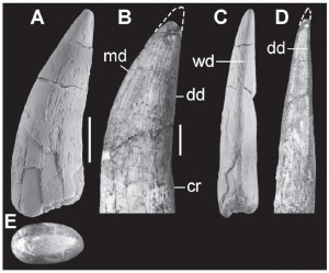 Tooth crown of Theropoda indet. BR924