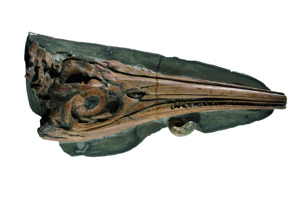 aff. Stenopterygius quadriscissus, crâne d'ichthyosaure provenant de Belvaux, préparé par J. Simon