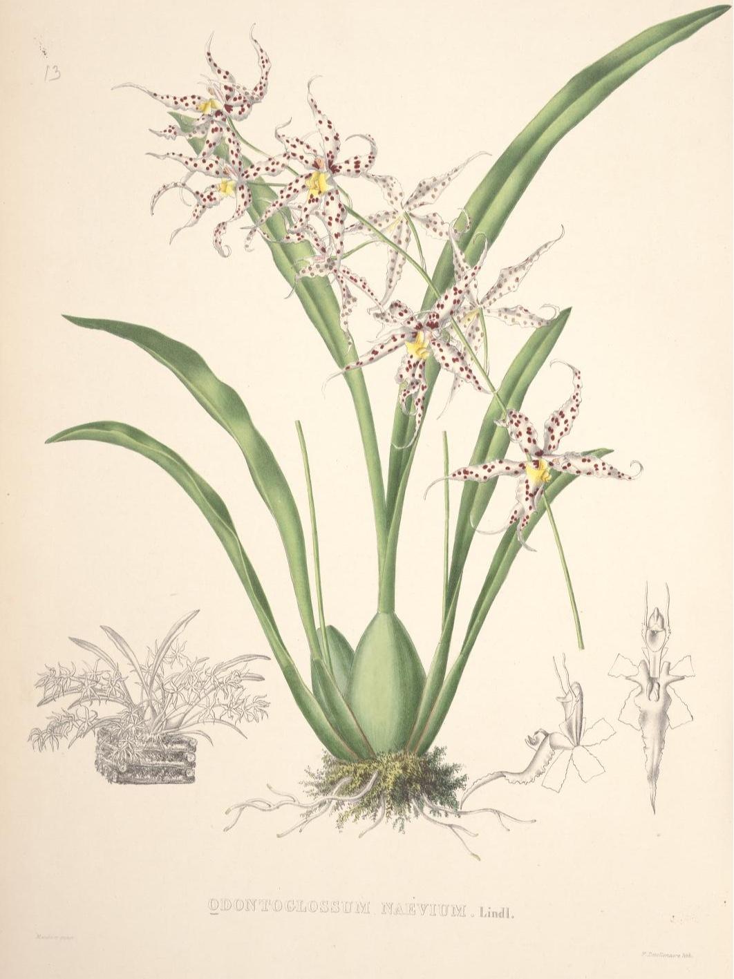 Odentoglossum naevium Lindl. Pescatorea : iconographie des orchidees /par J. Linden... avec la collaboration de mm. J.E. Planchon, m. G. Reichenbach, G. Luddemann. Bruxelles :M. Hayez,1860. http://www.biodiversitylibrary.org/bibliography/52011 Item: http://www.biodiversitylibrary.org/item/111245 Page(s): [Plate] [XIII] Contributed by: Missouri Botanical Garden, Peter H. Raven Library Sponsored by: Missouri Botanical Garden