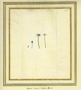 Agaricus reduteus