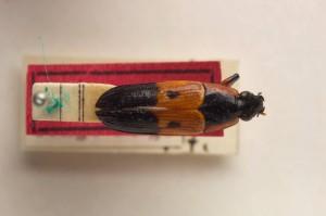 Vum hollänneschen Entomolog Ritsema 1910 ass dëse Käfer Helota lujae genannt ginn. Haut kennt een en ënner dem Numm Afrohelotina lujae.(Ritsema, 1910)