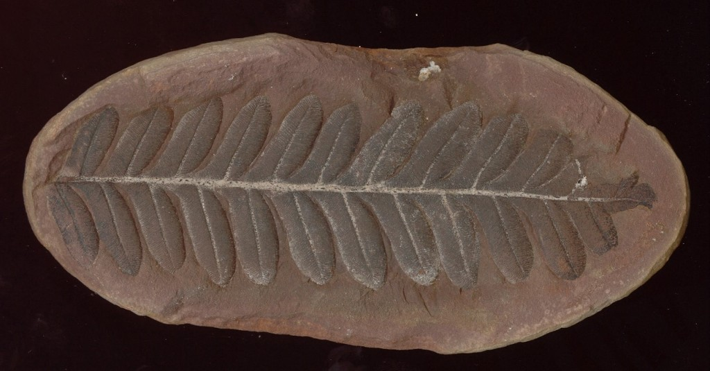 Samenfarn, Alethopteris densinervosa, Karbon, Illinois/USA