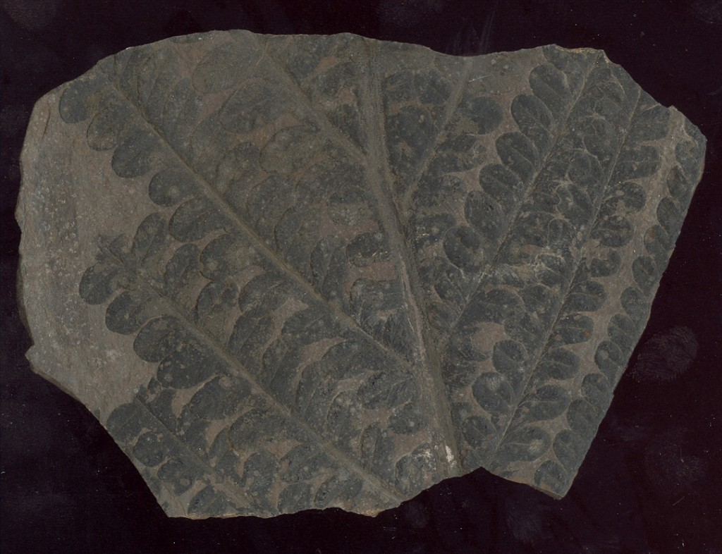 Callipteris confecta ist ein Überrest eines baumartigen Farngewächses aus der Permzeit (Rotliegendes) von D-Ruppersdorf