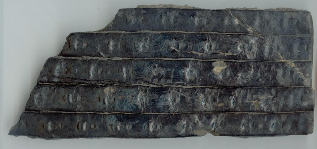 Fossile Baumrinde von Sigillaria sol aus dem Karbon von Sankt-Ingbert