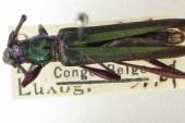 cloniophorus_vitalii_Paratypus1_s