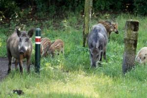Wildschweine in der Hennigsdorfer Str. in Berlin Heiligensee. Foto: D. Wiemer, Leibniz-IZW
