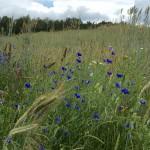 Ackerflora