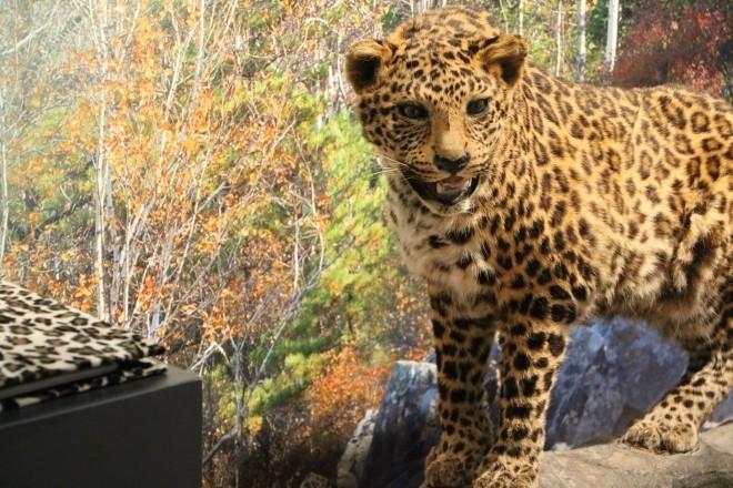 Amurleopard_s