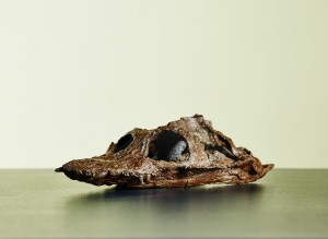 Crâne fossilisé de