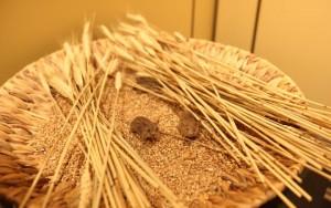Mäuse in der Ausstellung
