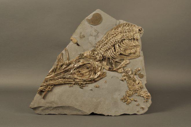Ichthyosaurus_Janvier_s